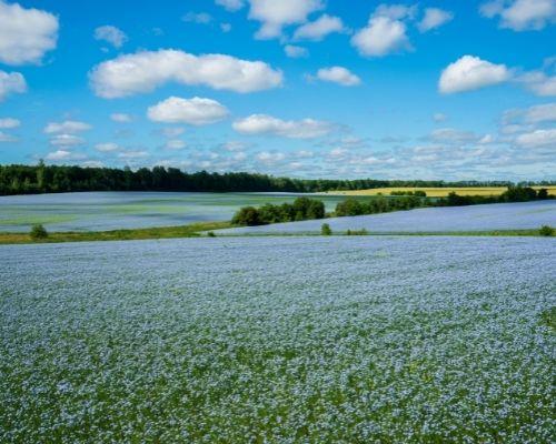 European Flax